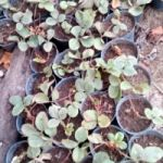 Plantines de frutilla