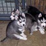Cachorros de husky siberiano