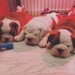 Hermosos cachorros de bulldog inglés para adopción