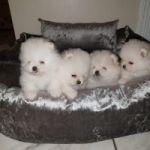 No tiene precio cachorros de Pomerania blanca
