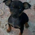 Cachorro mini pincher