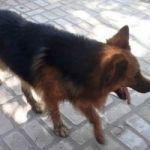 Apareció ovejero alemán dorado cachorro