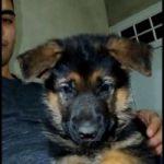 Se venden hermosos cachorros Ovejero alemán con pedigree