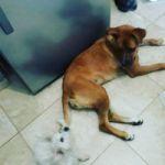 Doy en adopcion responsable perra cadtrada cruza de boxer con ovejero