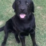 Perro labrador negro puro busca novia