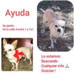 Chihuahua perdido