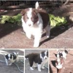 Vendo Cachorritos border collie