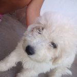 Vendo perrito caniche toy 4 meces