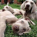 Cachorros Weimaraner Grises y Chocolate