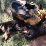 Cachorro pastor alemán puros