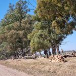 Vendo leña de eucalipto trozada por equipo ideal fabrica ladrillos