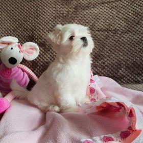Cachorros malteses disponibles
