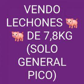 VENDO LECHONES 🐖🐖