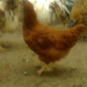 vendo gallinas