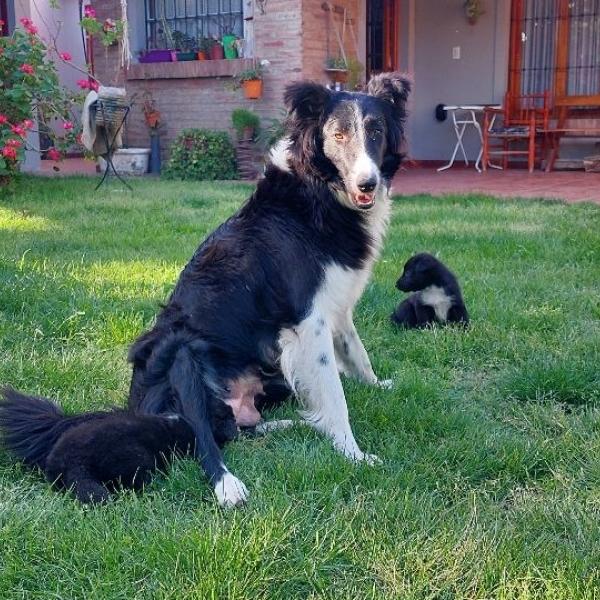 Cachorros crusa border collie