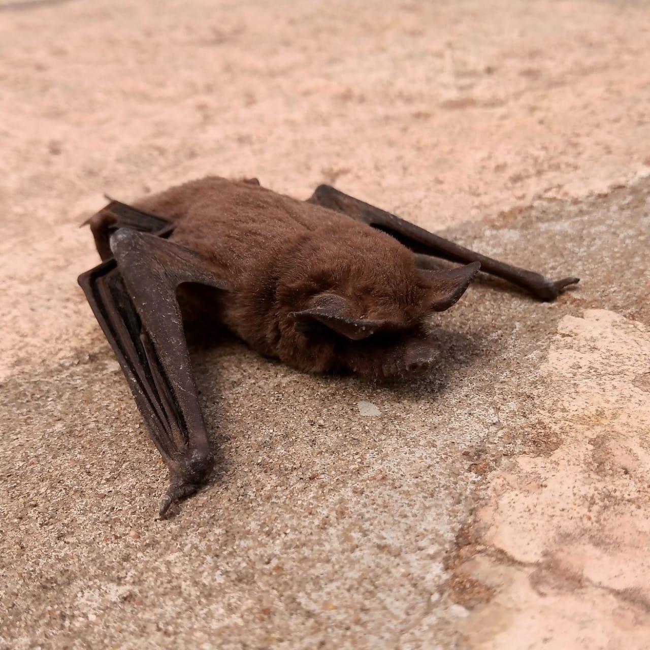 Debido al hallazgo de un murciélago con rabia en pleno centro de Pico, se realizarán acciones de bloqueo y de prevención