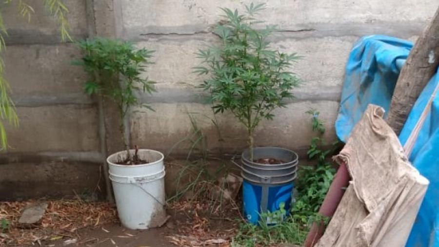 Incautaron dos plantas de marihuana en una casa de Guatraché: Las entregó voluntariamente un hombre