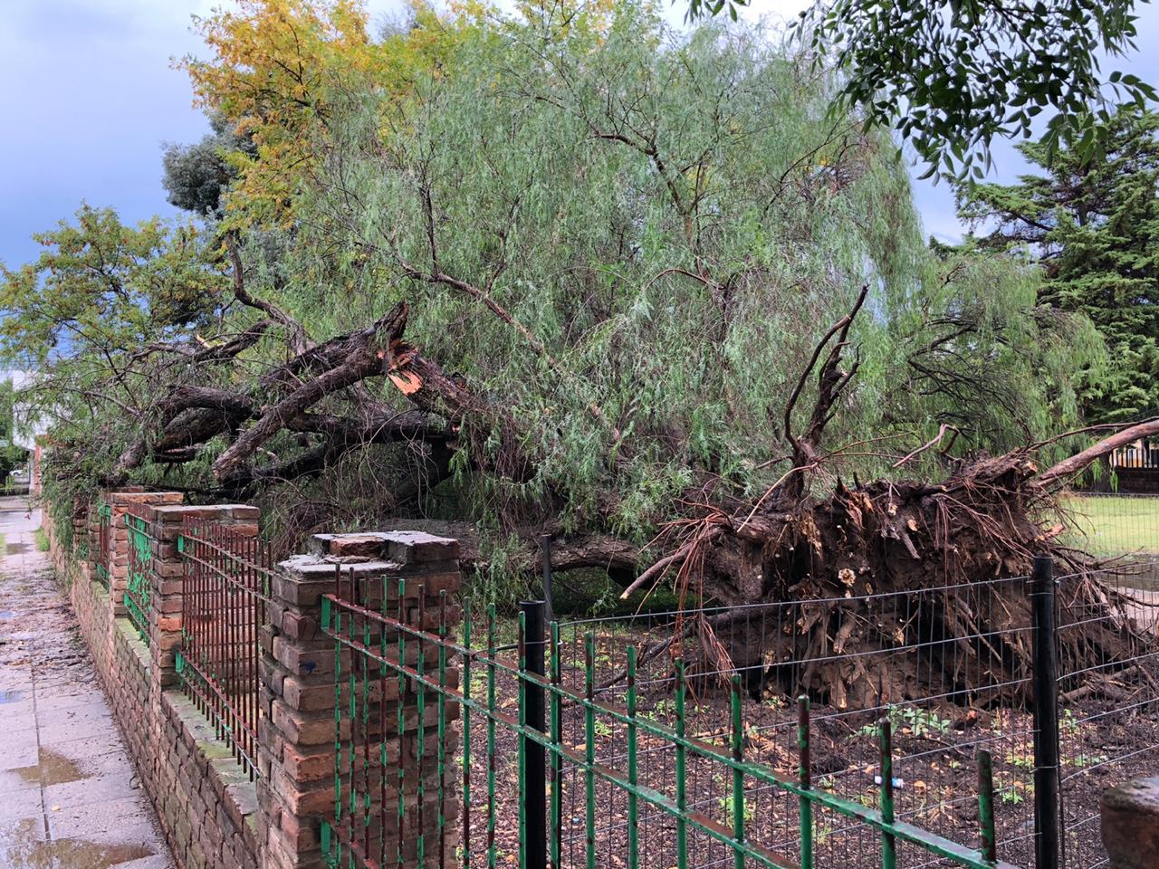 Se cayó un aguaribay de aproximadamente 116 años en la Escuela Nº 26