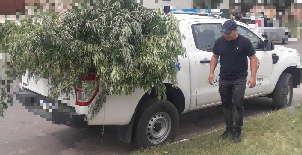Victorica: secuestran plantas de marihuana de 2 y 3 metros que estaban ocultas en un patio