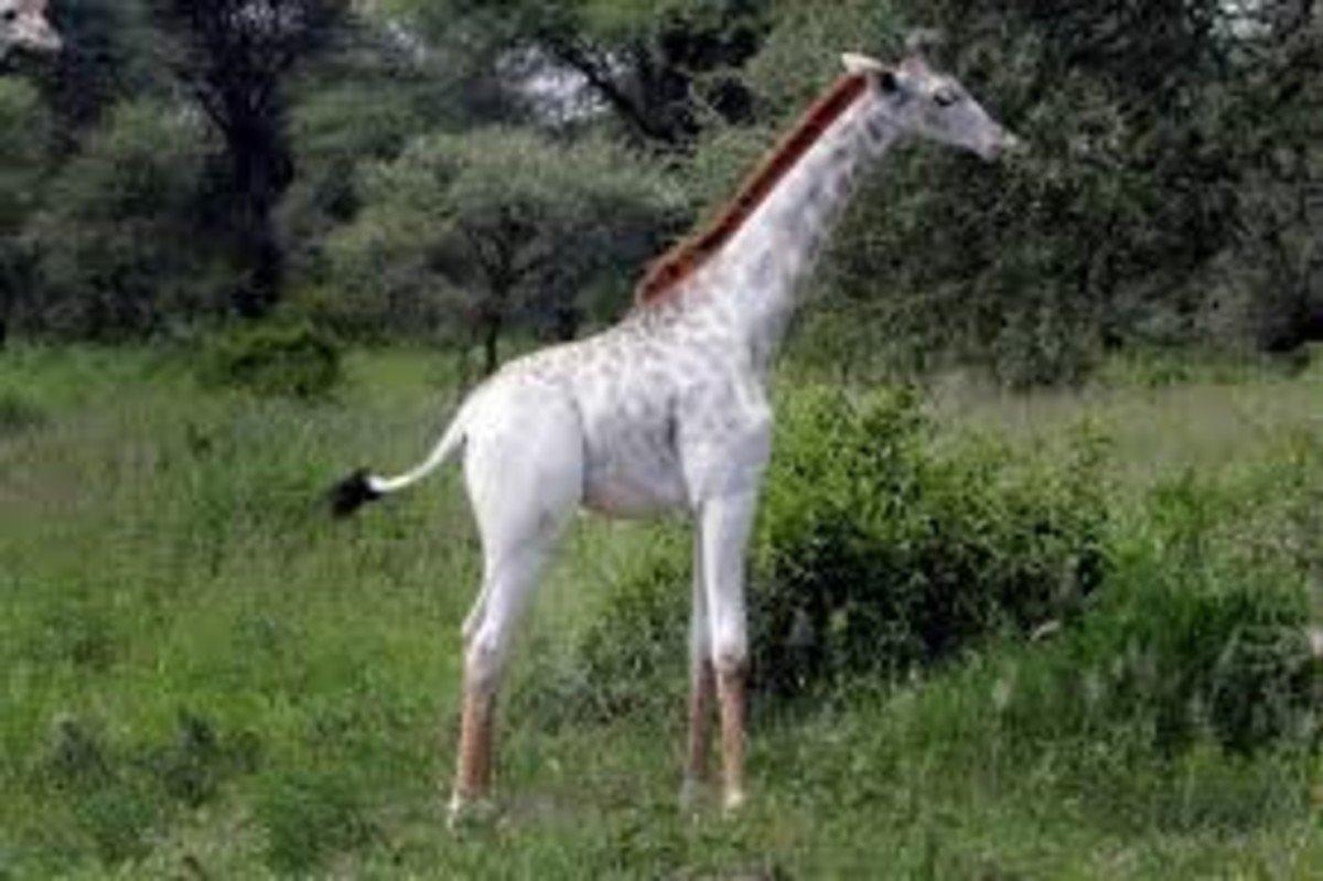 Mataron a una jirafa blanca y a su cría: ahora solo queda un ejemplar en el mundo