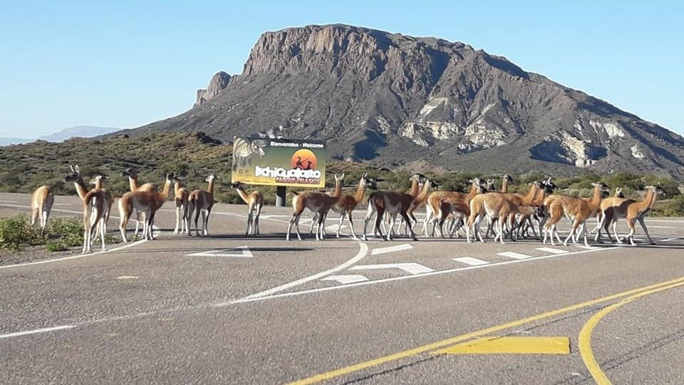 Postales de la cuarentena: ante la falta de gente, los guanacos se adueñaron del ingreso al Valle de la Luna