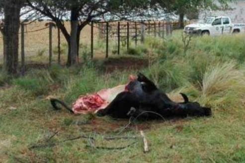Abigeato: Entraron a un campo y  carnearon un novillo en cercanía de General Pico