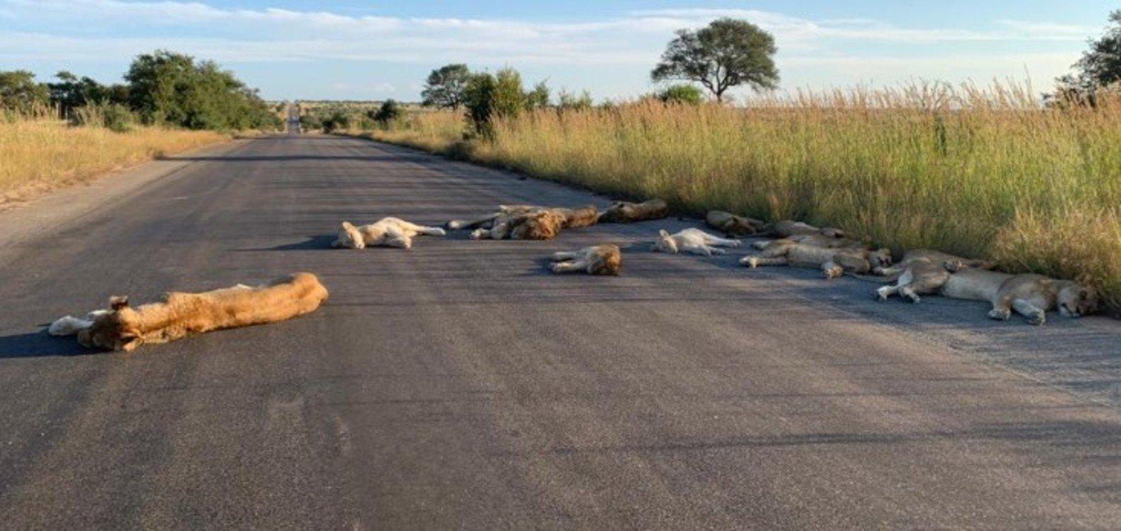 Cuarentena: las inusuales imágenes de leones que duermen la siesta en el asfalto en Sudáfrica
