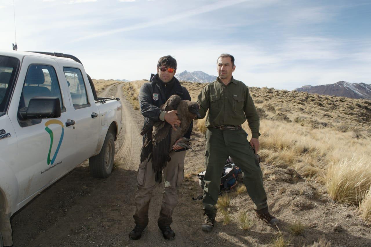 Épico rescate de un cóndor herido en el norte de Neuquén