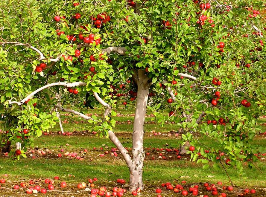 Frutales en nuestro jardín (1º parte)