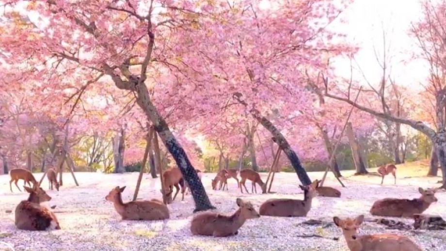 Ciervos descansan bajo cerezos en Japón por falta de turistas