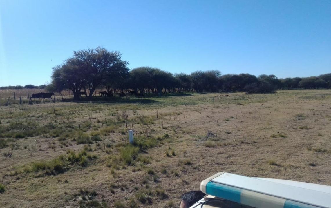Policía de Castex investiga robo de hacienda en zona rural de Rucanelo: Hallaron vacas y terneros
