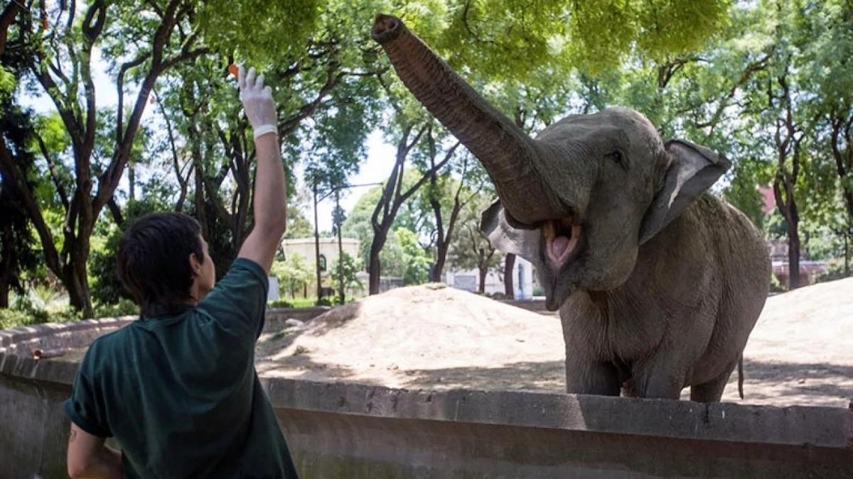 ¡Una linda noticia! La elefanta Mara dejará el ex Zoo de Buenos Aires y vivirá en un santuario de Brasil