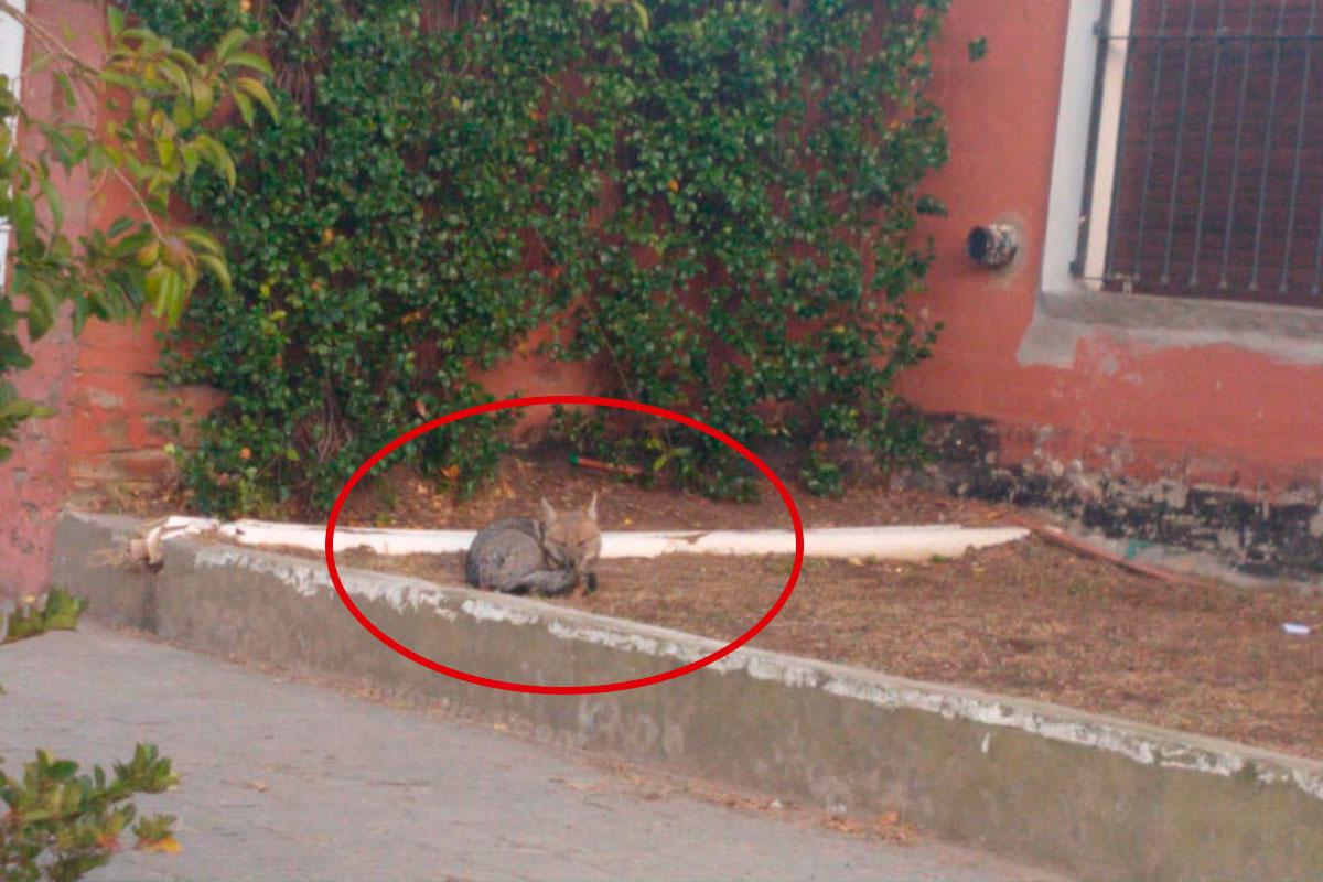 La foto del día: Un zorro a 6 cuadras del centro de General Pico