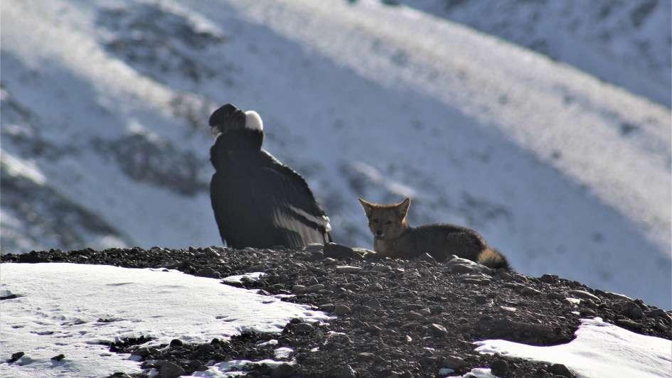 Se volvió viral: ¿Qué hay detrás de la impactante foto de un cóndor y un zorro juntos en el Aconcagua?