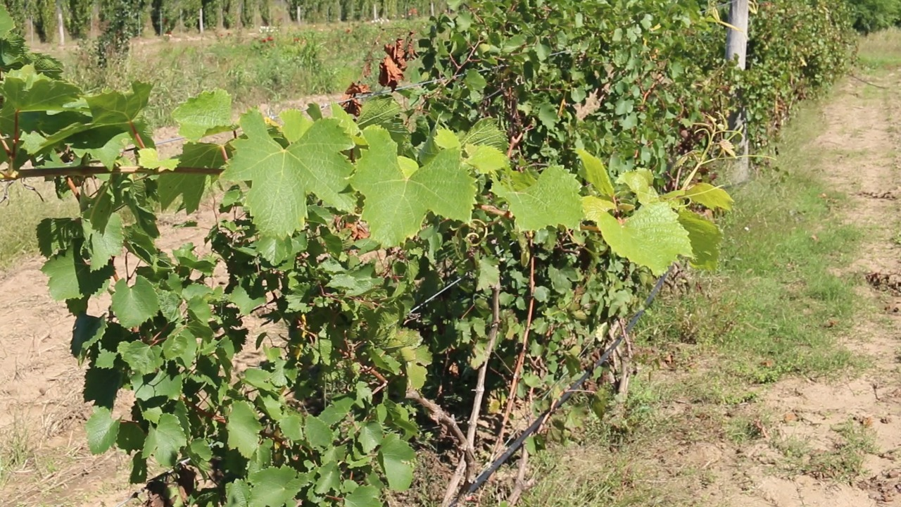 """El primer vino del norte de La Pampa se produce en Pichi Huinca: """"Estamos a un mes de tener unos 250 litros"""""""