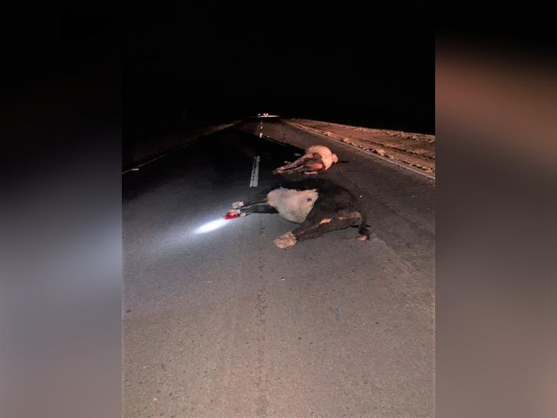 Un camión impactó con dos vaquillonas en la Ruta 35 al sur de Eduardo Castex