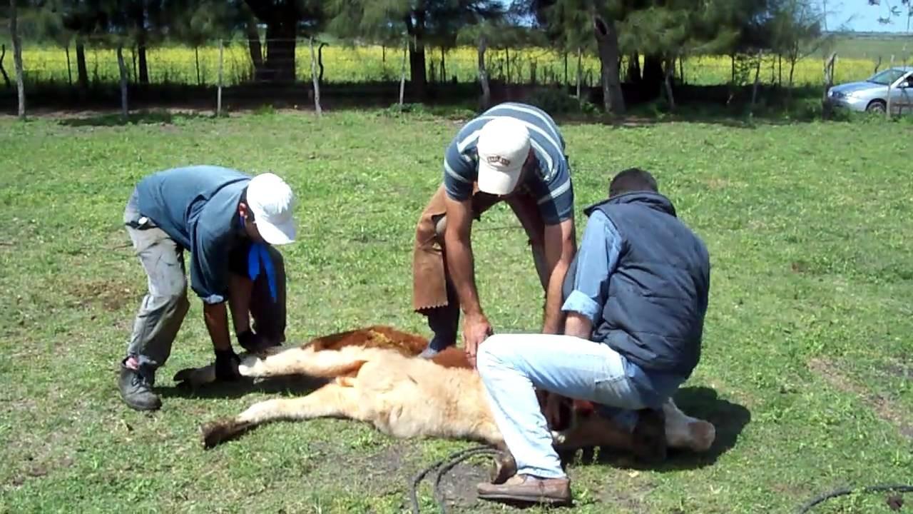 Un trabajador rural resultó herido de arma blanca cuando capaba a un animal
