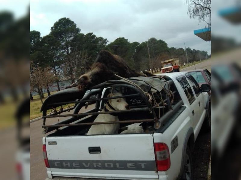 Cazadores circulaban con libretas adulteradas, 6 perros y un chancho jabalí muerto