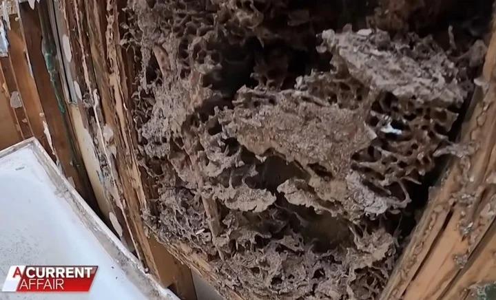 Australia: Compraron una casa por medio millón de dólares y en pocos meses se la destruyeron las termitas