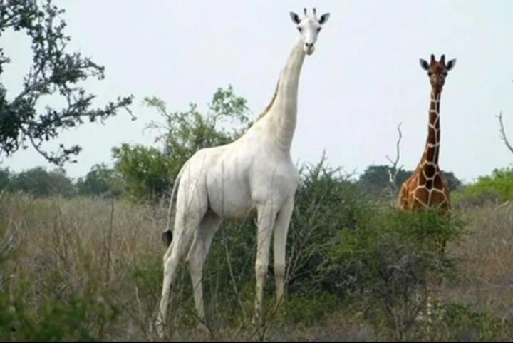 Fabuloso: encontraron a la única jirafa blanca que queda en la Tierra