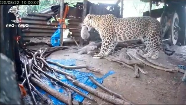 Una mamá leopardo dio a luz en una choza y después llevó sus cachorros a la jungla