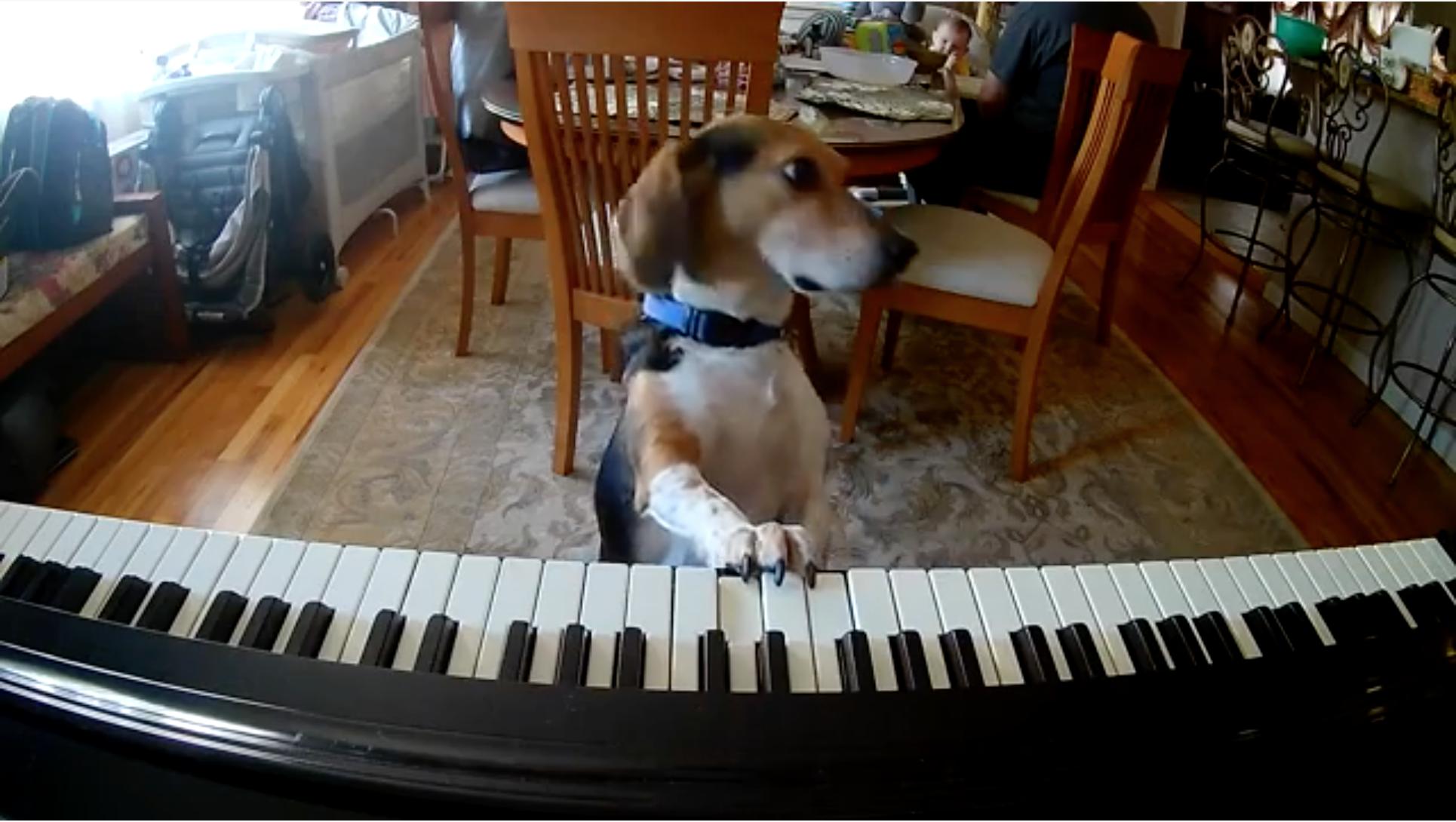 El video del perro artista: toca el piano y canta cuando se queda solo en la casa