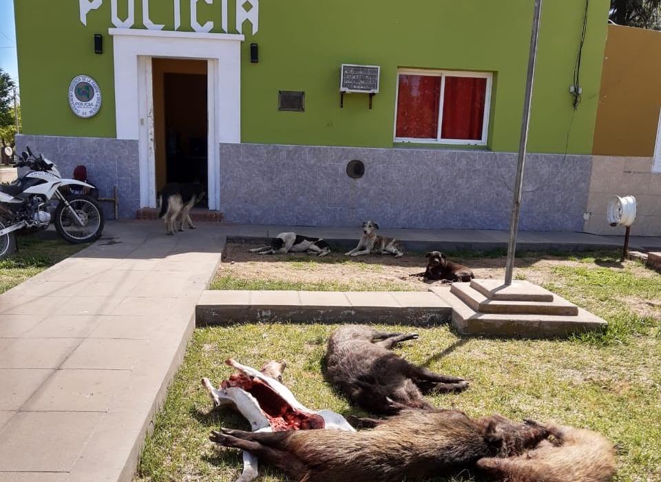 La policía interceptó una camioneta que llevaba un ciervo y tres chanchos jabalíes