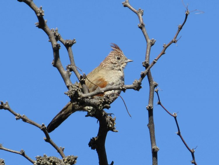 """Día Nacional del Ave: Destacan al """"gallito copetón"""" del Parque Lihué Calel como una de las aves emblemáticas del país"""