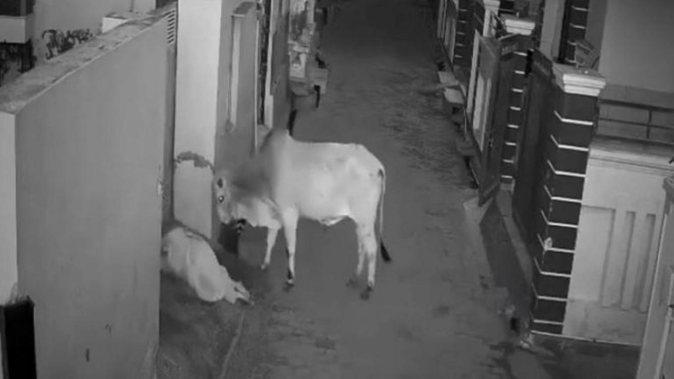 India: niño salva a su abuela del ataque de un toro
