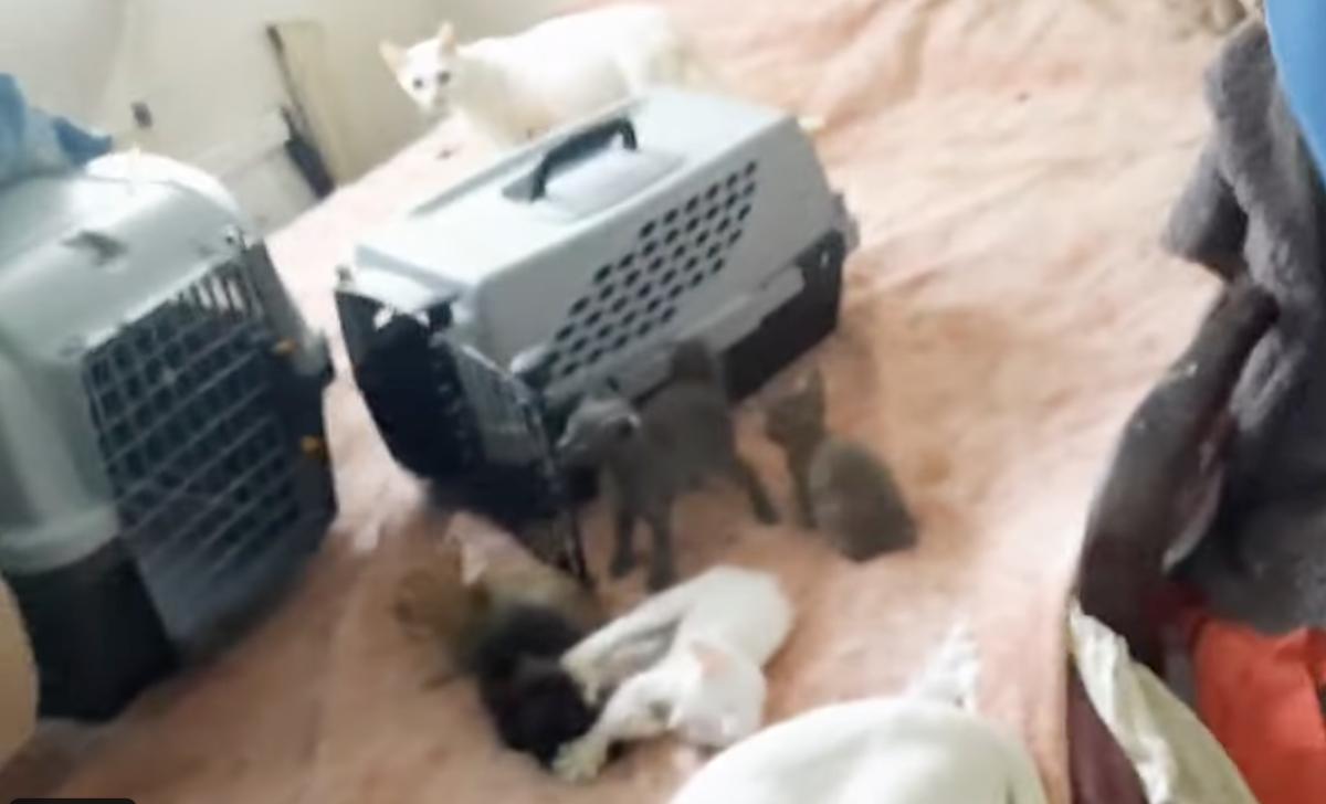 Buenos Aires: tenía más de 88 gatos en su casa, los rescataron y ahora buscan hogar