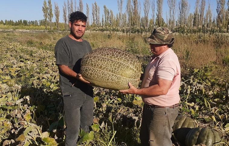 ¡Impresionante!: Productores pampeanos cosecharon zapallos gigantes de hasta 70 kilos